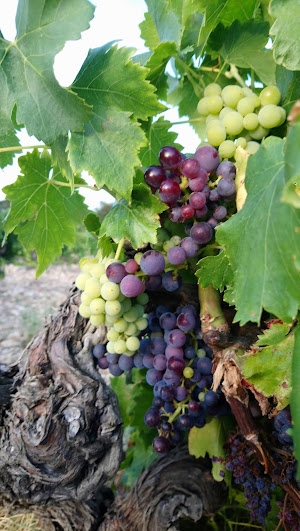 La vigne et les grappes bientôt mûres. Le raisin à venir