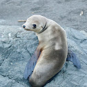 Sea Lion (pup)