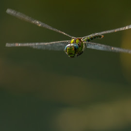 Dragon in flight by Barry Smith - Animals Insects & Spiders ( in flight, dragonfly, nature, animals, wildlife )