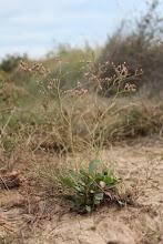 Photo: Flora salina: Limonium parvibracteatum