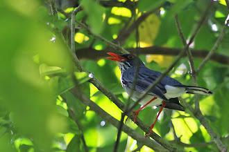 Photo: Red-legged Thrush
