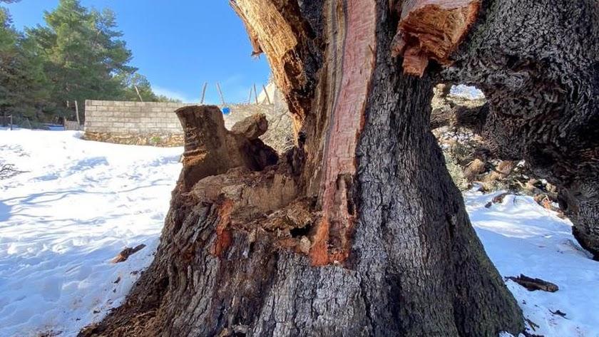 Estado en el que quedó la encina milenaria tras la nevada de finales de enero.