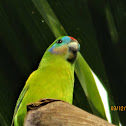 Macleays fig parrot