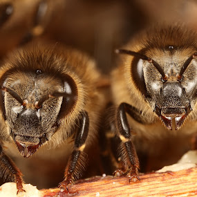 sisters side by side by Scott Thompson - Animals Insects & Spiders ( canon, hive, bee, honey )
