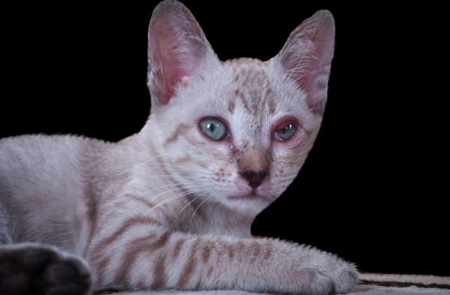 Nhiều nguyên nhân dẫn đến mèo bị đau mắt