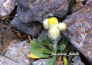 Photo: Helichrysum doerfleri Rech.f. (Compositae (Asteraceae) Eνδηµικό Ανατολ.Κρήτης Θρυπτή (1256μ.) EΛΙΧΡΥΣΟ (Αμάραντο) ΤΟΥ DOEFLEER.Σπάνιο απειλούμενο φυτό καθώς ο βιότοπος του βρίσκεται σε λίγα τετραγωνικά μέτρα στην Θρυπτή...Πολυετές, χνουδωτό, µαξιλαρόµορφο,οι ανθοφόροι βλαστοί του δεν ξεπερνούν τα 8 cm. με φύλλα βάσης µήκους 5-10(-15) mm, φύλλα βλαστού πολλά, τα κατώτερα 20-30 mm, αντιλογχοειδή-σπαθιδοειδή, οξύληκτα, τα ανώτερα ελαφρώς γραµµοειδή. Κεφάλια µικρά, κίτρινα, (1-)2-4,όπως σε όλα τα ελίχρυσα µε εξωτερικά περιβληµατικά βράκτια ωοειδή με υφή πέρλας και τα εσωτερικά λογχοειδή, που γίνονατι πριονωτά ή πολυσχιδή στην κορυφή τους.Η ονομασία του συντίθεται από τις ελληνικές λέξεις ήλιος + χρυσό(φωτογραφία 4-6-2013 στο όρος Αφέντης της Θρυπτής)