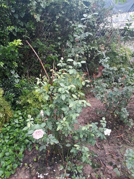 Hình dáng bụi hồng Alnwick rose, nhìn tổng thể