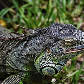 iguana by Sankar GM - Animals Reptiles ( iguana )
