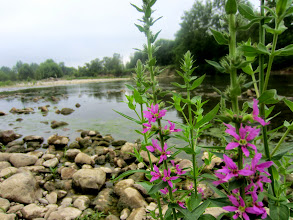 Photo: Purple flowers by the river on a cloudy day at Eastwood Park of Five Rivers Metroparks in Dayton, Ohio.