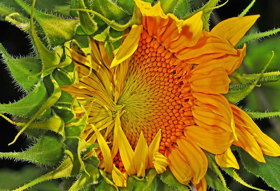 Sunflower opening by David Winchester - Nature Up Close Flowers - 2011-2013 ( Hope,  )