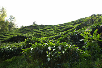 Photo: Year 2 Day 115 - And Yet More Tea Bushes