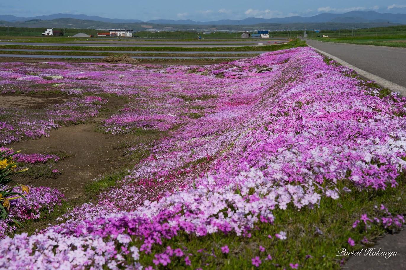 ピンクの絨毯・芝桜