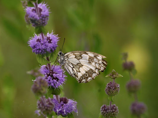 Butterfly  di Fabrizio Franceschi