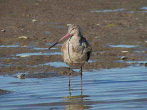 Photo: Marbled Godwit