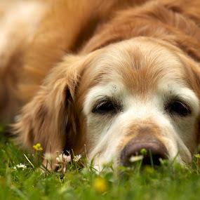 Old Dog by John Crongeyer - Animals - Dogs Portraits ( old, pet, rest, dog, senior, golden, , pwc84, #GARYFONGPETS, #SHOWUSYOURPETS )