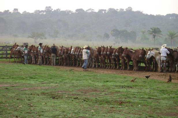 A group of herding mules in a beef farm, located in the Mato Grosso state, Northern Brazil. Note the disposition of the mules; the animals are trained to organize themselves in a side-by-side line-up along the perimeter of a paddock, to facilitate catching by the cowboys and to avoid fighting between animals (Courtesy of Rodrigo Cervi, DVM, Cuiaba, MT, Brazil).