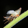 Treehopper nymph molting