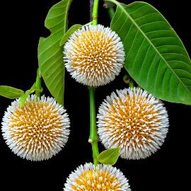 Kadam by Asif Bora - Flowers Flowers in the Wild (  )