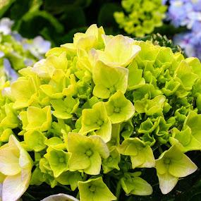 Green Flower by Abhisek Datta - Flowers Flower Buds ( gren, white, flower )