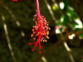 Photo: Hibiscus Blossom tail end