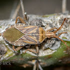 Chelinidae Leaf-footed Bug