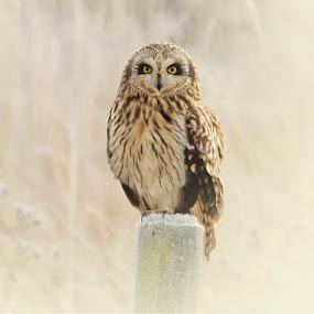 SHORT EARED OWL  by Dean Eades - Animals Birds