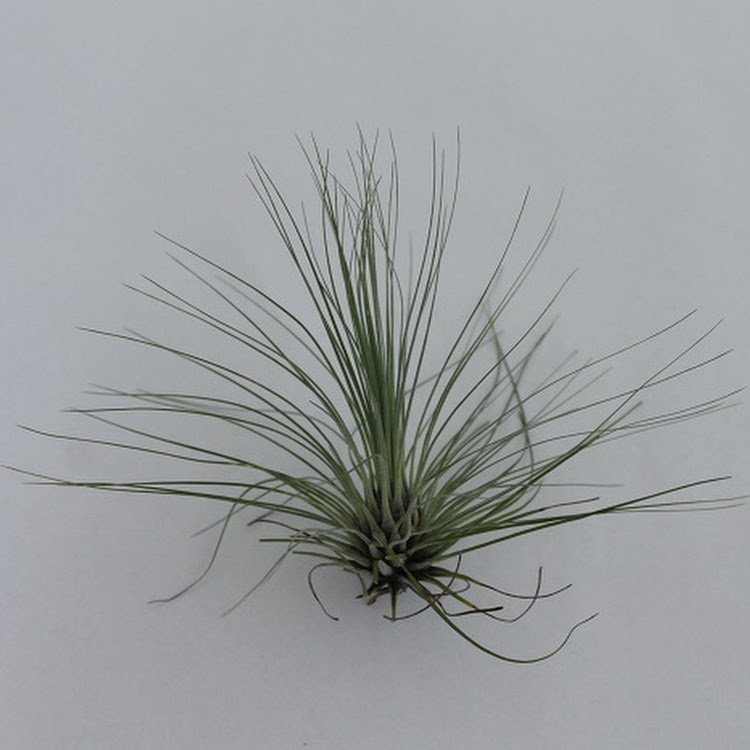Air Plant - Filifolia M size