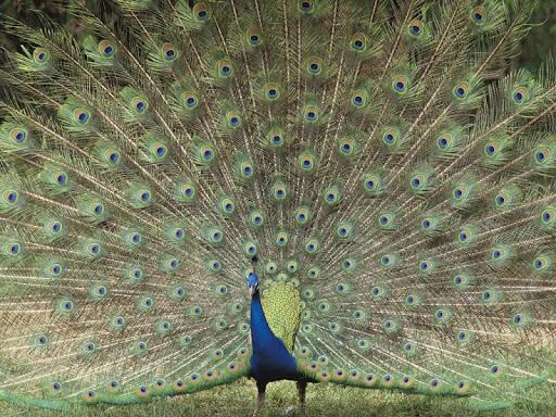 Peafowl Live Wallpaper