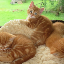 Three of a Kind by Marcia Taylor - Animals - Cats Kittens (  )
