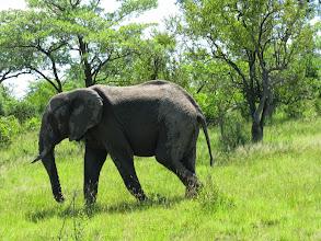 Photo: А это - четвертый. Африканский слон