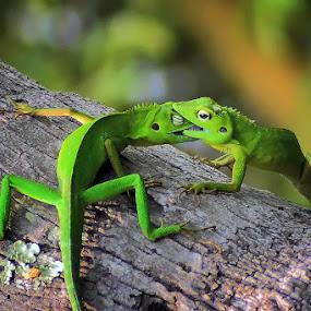 Fighting... by Achmad Tibyani - Animals Reptiles ( nature, bite, fight, wildlife, animal )