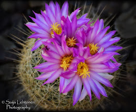 Photo: From my first outing today since my injury... was a nice surprise to find flowers already blooming... spring is showing her colors!!  Saija Lehtonen Photography  #Floral #Flowers #FloralFriday #Nature #Photography  #Cactus #Pink  #Arizona #Southwest #Macro