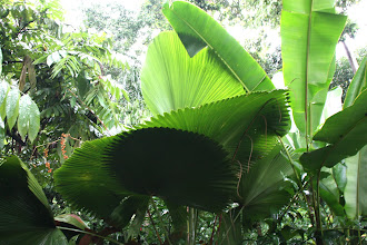 Photo: Year 2 Day 135 - Palms  in Singapore Botanical Gardens