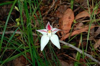Photo: alba form of Caladenia flava