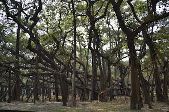 Photo: Kolkata, Botanischer Garten -  Weltweit größter Banyanbaum mit 1825 Luftwurzeln und 420m Umfang