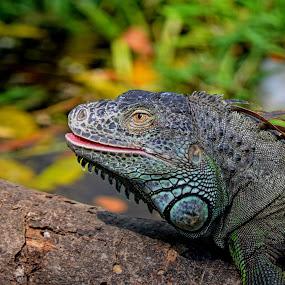 iguana by Sankar GM - Animals Reptiles ( reptiles, pink lips, iguana \, reptile,  )