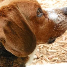 Freckles & Whiskers by Sandy Stevens Krassinger - Animals - Dogs Portraits ( whiskers, ears, beagle, dog, nose, eye, animal,  )