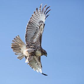 Red tailed hawk by Alex Sam - Animals Birds ( canon, bird, 5d mark ii, shooter, sky, lens, 5d, hawk )