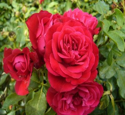 Rosa Rouge Meilove® - Mona Lisa® 60 cm und 90cm - Bestellen Sie jetzt! -  Seurosa.nl