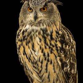 Eagle Owl by Barry Smith - Animals Birds ( nature, bird of prey, ornithology, owls, birds )