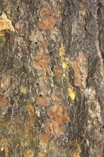Photo: Mountain pine beetle exit holes in Ponderosa pine bark