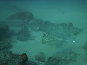 Photo: Cohl's stingray on Oases reef in Praia de Tofo