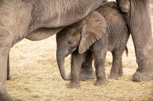 ゾウの赤ちゃんの壁紙