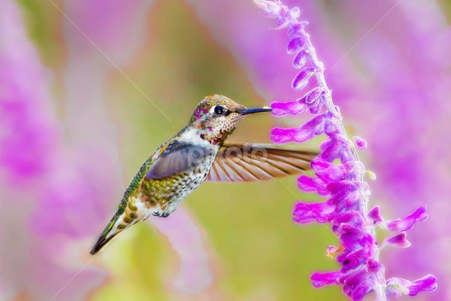 Midair Refueling by Ken Wade - Animals Birds ( purple, calypte anna, hummingbird, wildlife, anna's hummingbird, flowers, birds, gorget, birds in flight )