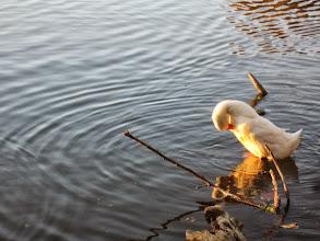 Photo: Setting sun turning the white duck golden at Eastwood Park in Dayton, Ohio.
