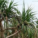 Pandanus tectorius 假菠蘿
