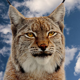 Le lynx by Gérard CHATENET - Animals Lions, Tigers & Big Cats