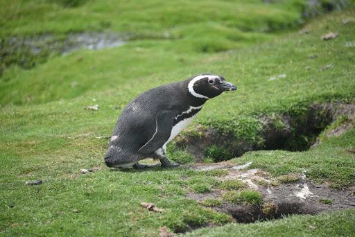 DSC_0704.jpg - Gentoo penguins live in holes with babies beneath them.