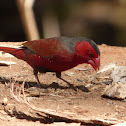 Crimson Finch (male)