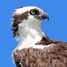 A Osprey Look by Paul S. DeGarmo - Animals Birds ( look, bird, profile, close, osprey,  )